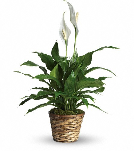 Spathiphyllum Plant - Small