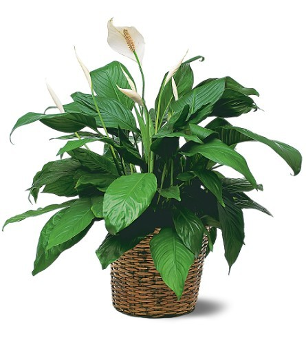 Spathiphyllum Plant - Medium