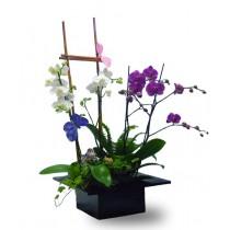 Phalaenopsis Garden